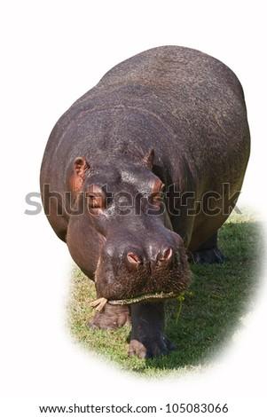 Hippopotamus isolated on white - stock photo