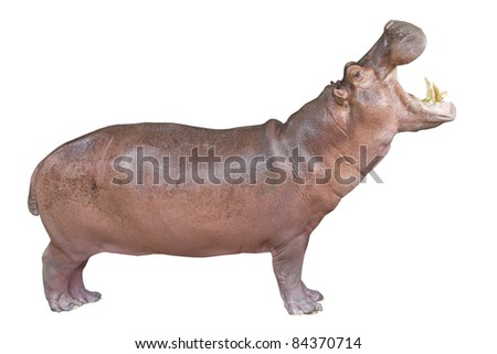 hippopotamus isolated on white - stock photo