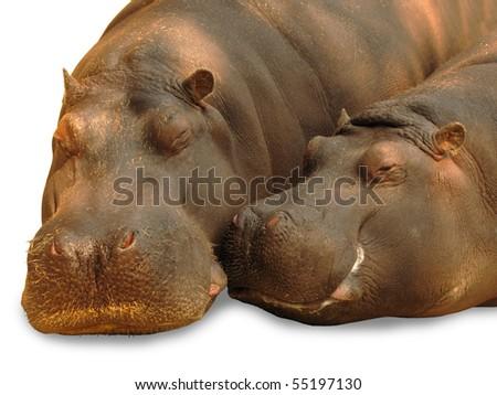 Hippopotamus pair in love - stock photo