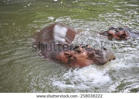 Hippopotamus playing in water - stock photo