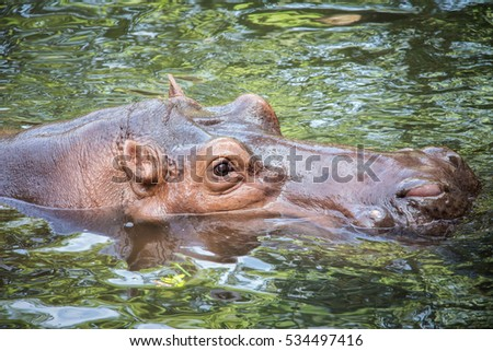 Hippopotamus swimming in water and looking for food.