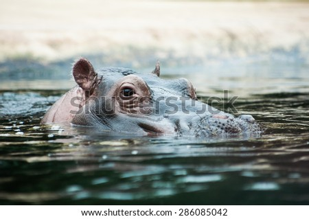 Hippopotamus with his head above water and the rest of the body hidden underwater staring - stock photo