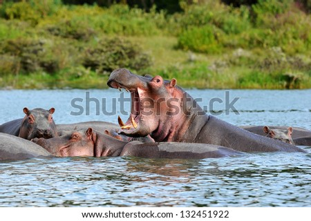 Hippopotamus with open mouth  in Water