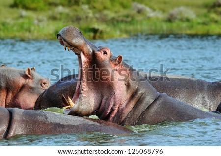 Hippopotamuses showing huge jaw and teeth,kenya - stock photo
