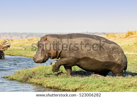 Hippopotamuss (Hippopotamus amphibius) getting out of a mud hole to go in the Chobe river in the Chobe National Park, Botswana