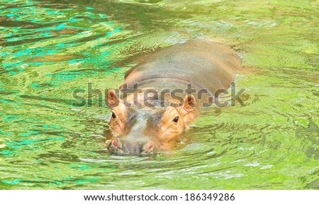 Hippos (Hippopotamus) relaxing in the sun - stock photo