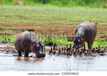 Hippos in Serengeti national park in Tanzania - stock photo