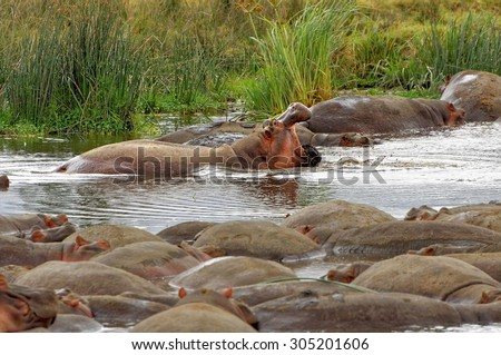 Hippos resting in the river in Ngorongoro Conservation Area, Tanzania