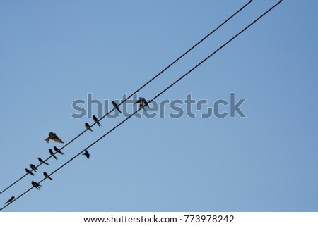 Hirundinidae Bird on  electric wire