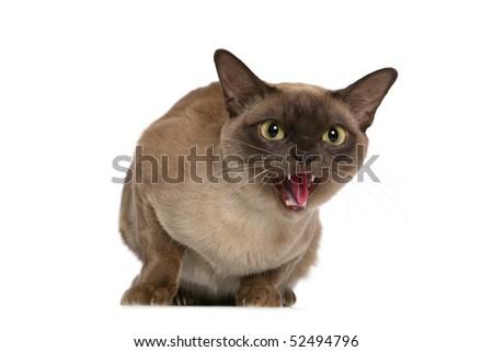 Hissing Burmese cat - stock photo