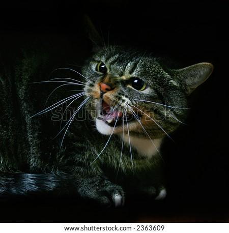 Hissing Cat - stock photo