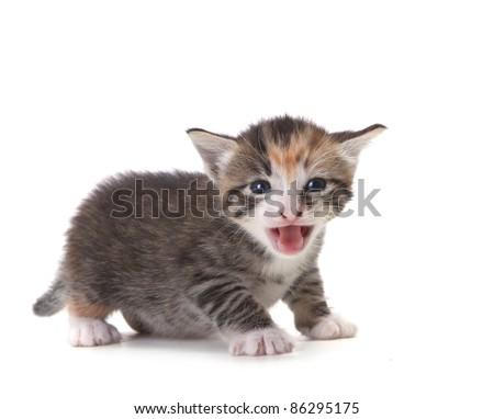 Hissing Newborn Domestic Kitten On White - stock photo
