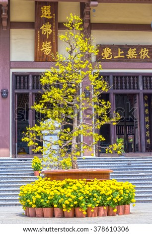 Ho Chi Minh City, Vietnam - February 8th, 2016: Giant apricot spring below entrance chrysanthemum pots adorn pagoda gate attract pilgrims temple Buddhist Lunar New Year in Ho Chi Minh City, Vietnam