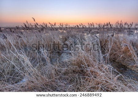 Hoar frost on reed in a winter morning landscape in Holland - stock photo