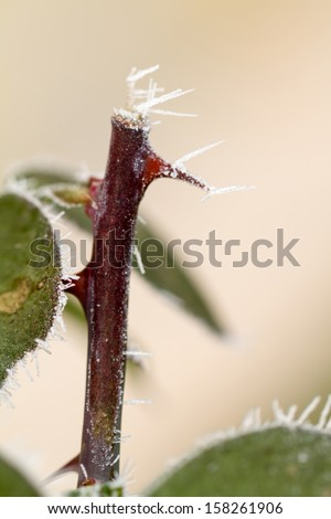 hoarfrosted rose thorn - stock photo