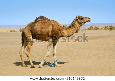 Hobbled camel on a pasture in Sahara desert in Morocco