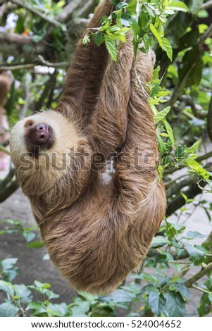 Hoffmann's two-toed sloth (Choloepus hoffmanni) eating leaves