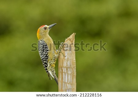 Hoffmann's Woodpecker perched on a fence post in Costa Rica. - stock photo