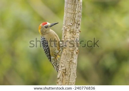 Hoffmanns Woodpecker perched looking for insects in Costa Rica. - stock photo