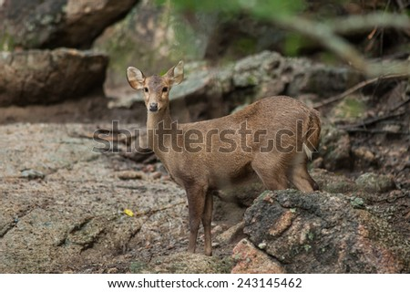 Hog deer free in the zoo, Thailand - stock photo