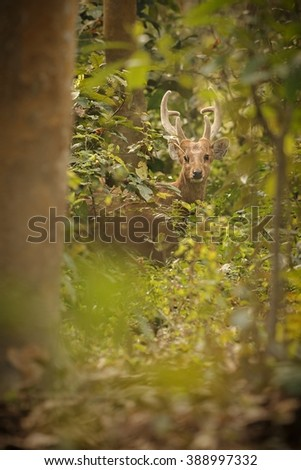 hog deer on the grassland of Kaziranga in Assam/hog deer on the grassland of Kaziranga in Assam/hog deer on the grassland of Kaziranga in Assam