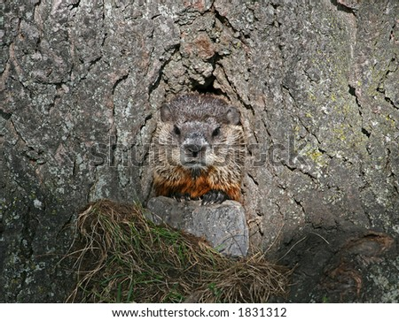 Hog hiding in a tree hole - stock photo