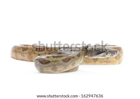 Hog Island Boa Constrictor on white backround. - stock photo