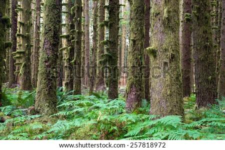 Hoh Rainforest Spruce Hemlock Cedar Trees Fern Ground Cover - stock photo