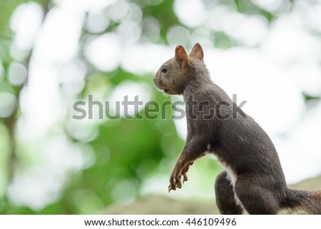 Hokkaido Squirrel in Forest. - stock photo