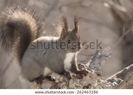 Hokkaido Squirrel in Winter Mountain. - stock photo