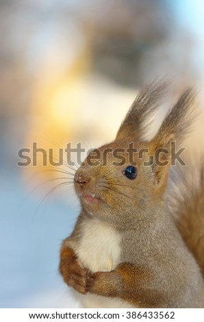 Hokkaido Squirrel in Winter mountain. - stock photo