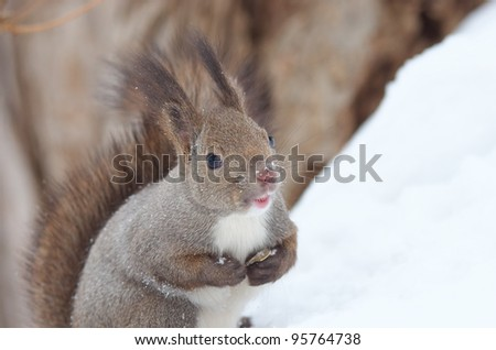 Hokkaido Squirrel in winter mountain.