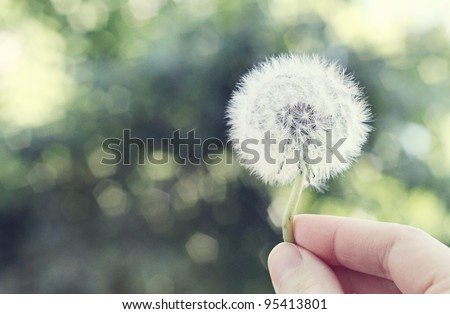 Holding a Dandelion - stock photo