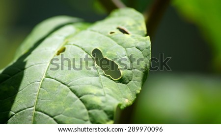 Holes in a leaf from insects.