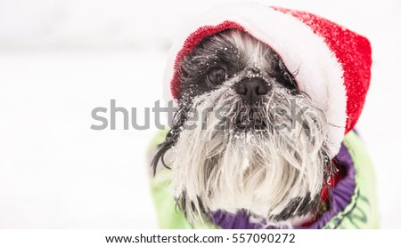 Holiday pets. Amusing dog shih Tzu in Santa Claus hat outdoors at winter frosty day.