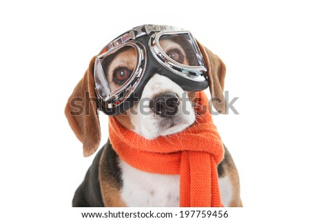 holiday travel  pet concept, dog in flying glasses - stock photo
