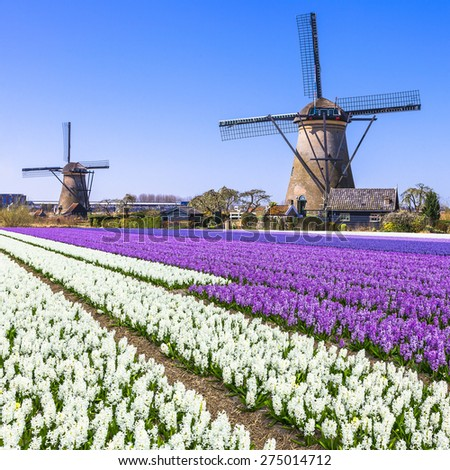 Holland countryside - windmills and blooming flowers - stock photo