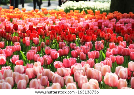 Holland tulip fields with a lot of vivid tulips  - stock photo