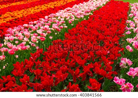 holland tulips field with fresh red, pink and orange tulips - stock photo
