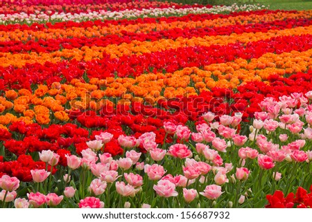 holland tulips field with red, pink and orange tulips - stock photo