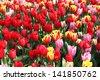 Holland windmills and field of wonderful vivid tulips - stock photo
