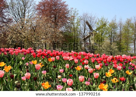 Holland windmills and field of wonderful vivid tulips - stock photo