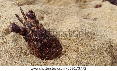 hollow crayfish shell in sand