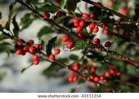 Holly berries against snowy ground - stock photo