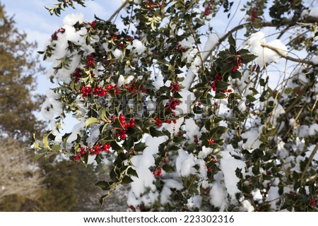 Holly berries in the snow. - stock photo
