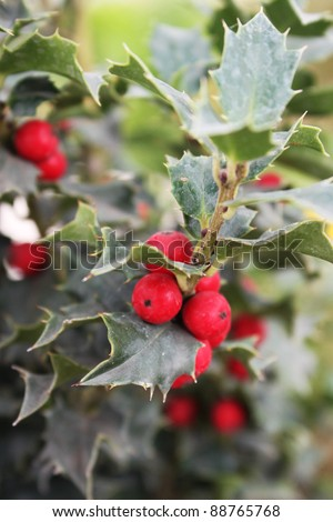 Holly bush with berries - stock photo