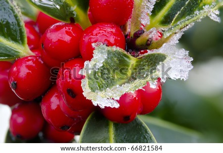 Holly with bright red berries covered in snow and ice - stock photo