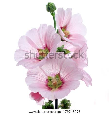 hollyhock flower isolated on white background - stock photo