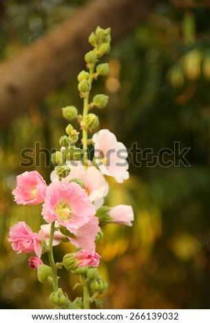 Hollyhock   in the garden  - stock photo