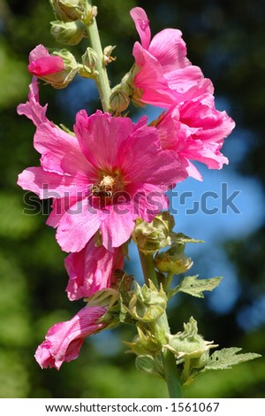 Hollyhock rose with a wasp - stock photo